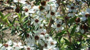 Manuka-essential-oils-aromatherapy